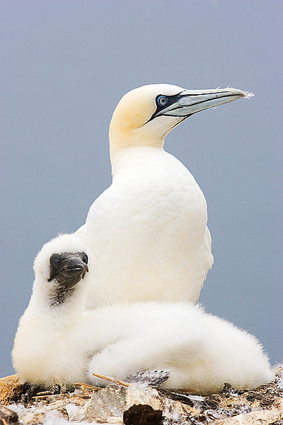 Pictures of Gannets Bass Rock Sept. 2006.